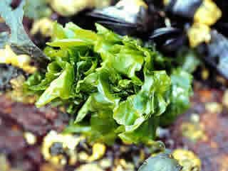 Sea Lettuce Ulva Lactuca Rhode Island Department Of