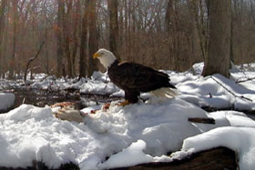 image of bald eagle in snow