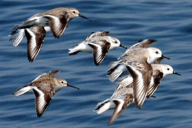 image of sanderlings in flight