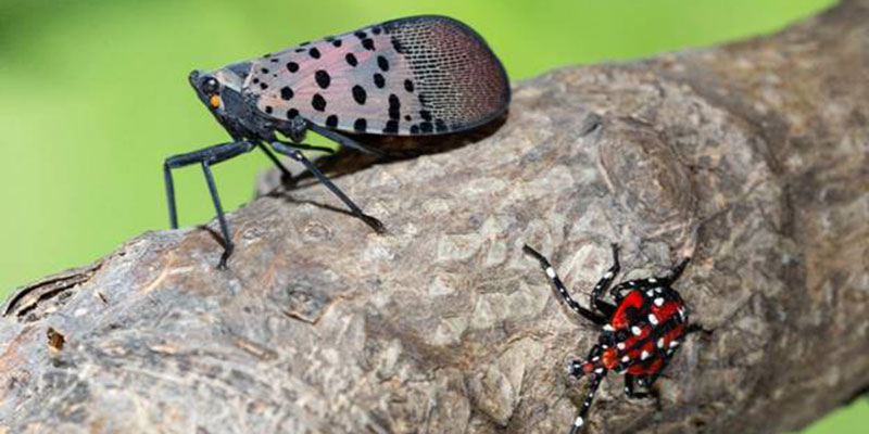 Spotted Lanternfly Adult with Larvea