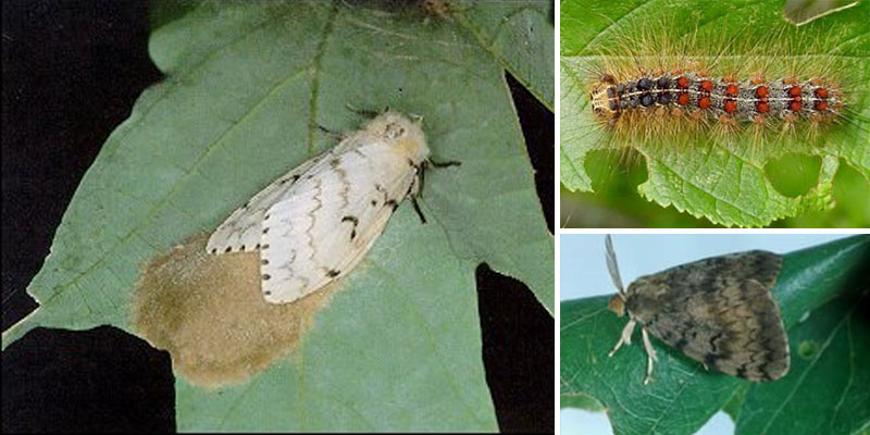 Gypsy Moth Life Cycle Rhode Island